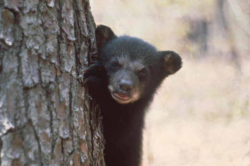 2 14 Florida black bear cub cFlorida Fish and Wildlife