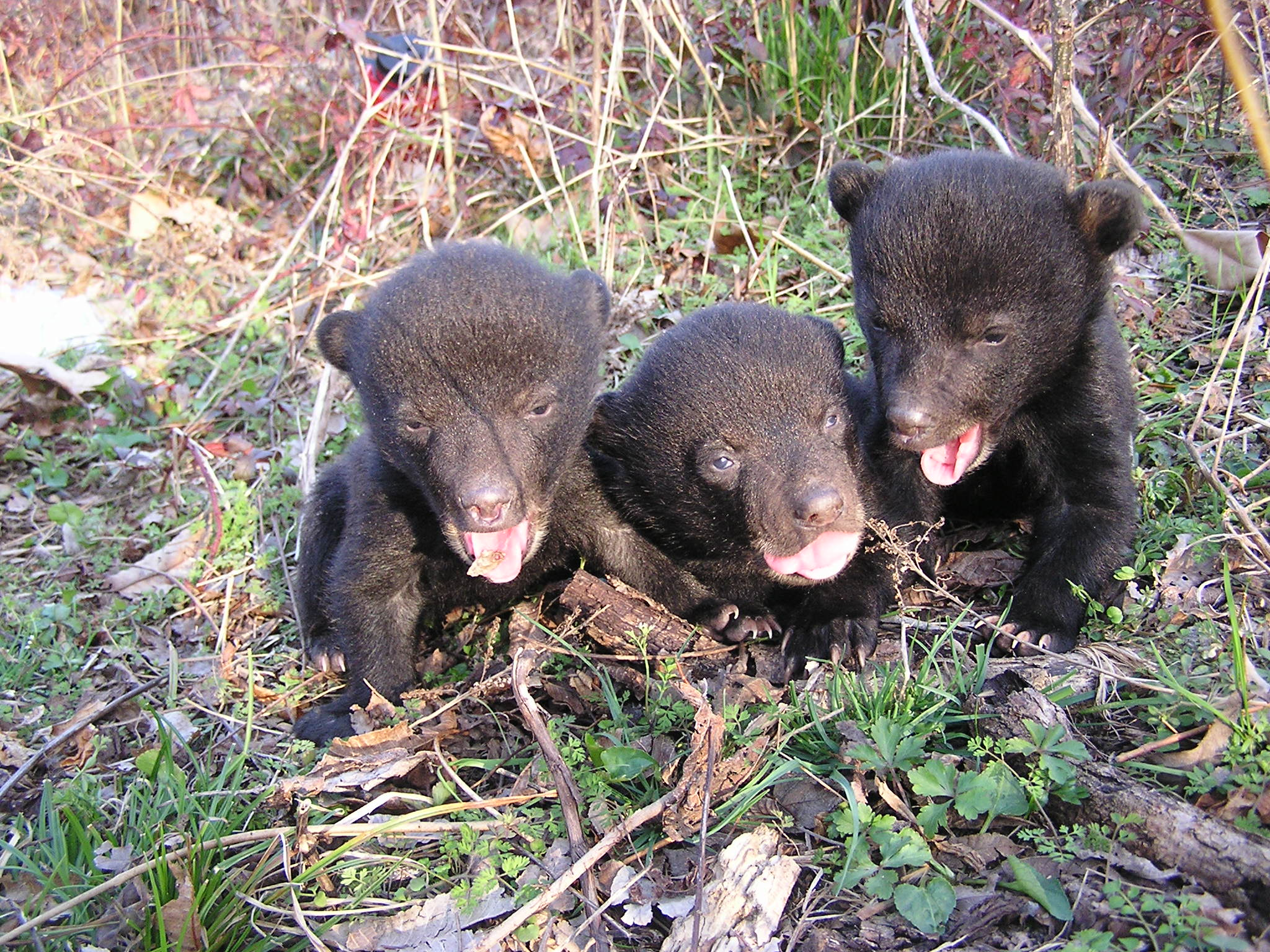 Louisiana black bear cubs. Photo by U.S.D.A.