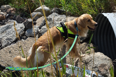 There are only a handful of dogs in the world trained to find E. coli. Kenna, pictured here, is a 2-year-old Golden Retriever, trained in this highly specialized skill. Photo by Environmental Canine Services.