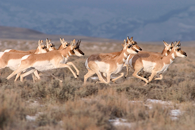 Each spring and fall, hundreds of pronghorn antelope migrate between their summer habitat in Grand Teton National Park to their winter range in the Green River Valley of southwestern Wyoming. Photo by Mark Gocke.