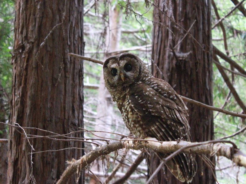 Northern Spotted Owl WhitneyFlanagan 800x600