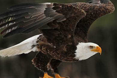 Restoring forests within the Chesapeake Bay help filter air and water for birds and wildlife, including the bald eagle.