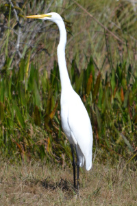 Great Egret in Loxa Lucie GBraun