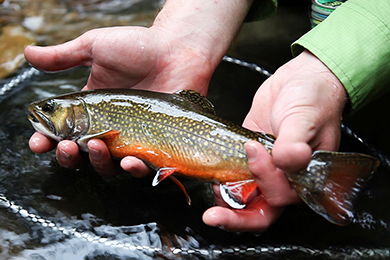 Researching and Restoring West Virginia's Declining Brook Trout Population