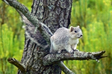 delmarva fox squirrel Larry Meade usfws hq flickr 645x430