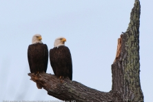 wallpaper Blackwater NWR bald eagles nikographer 1600