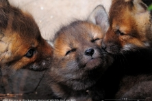 wallpaper Blackwater NWR fox kits nikographer 1600 600x450