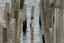 wallpaper Blackwater NWR greatblueheron nikographer 1600 600x450