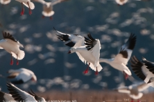 wallpaper Blackwater NWR snow geese nikographer 1600