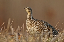 Sharp tailed grouse 1 c Larry Dau 645x430