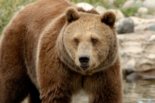 gallery migration grizzly bear linda mirro istock 645x430