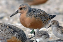gallery migration red knot greg breese usfws flickr 645x430 600x400