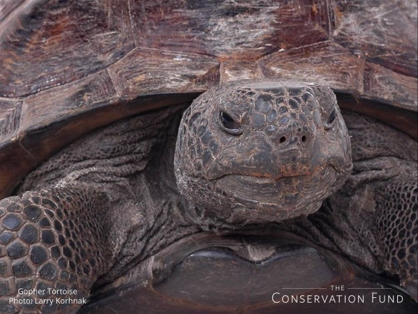 wallpaper gopher tortoise Larry Korhnak 1600 600x450