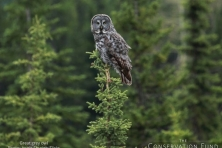 wallpaper great grey owl angie shyrigh flickr 1600 600x450