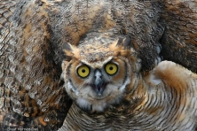 wallpaper great horned owl larry korhnak 1600 600x450