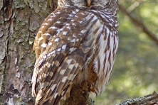 Rocky Fork Barred owl Greg Huston 417x500