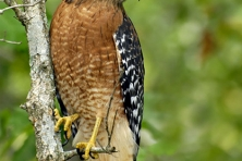 Rocky Fork Red shouldered hawk Greg Huston 417x500