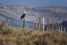 WY Bald eagle Upper Green River Valley Mark Gocke 645x430