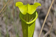 big thicket pitcher plant jerry oldenettel flickr 645x430 600x400