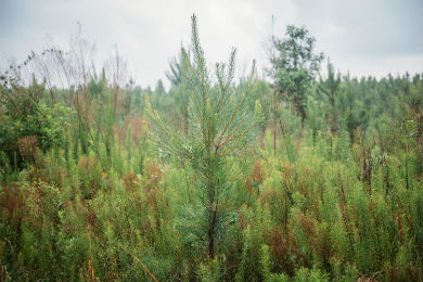 3,719 Acres of Land Protected for Longleaf Restoration