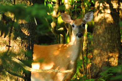Curious white-tailed deer