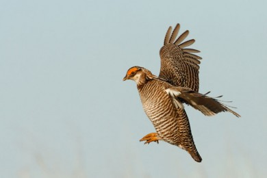 Lesser-prairie chicken in flight. Photo by Jacob Spendelow.