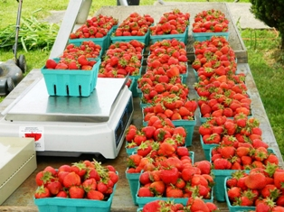 Bins of strawberries at Stacy Farm. Photo courtesy, Stacy family.