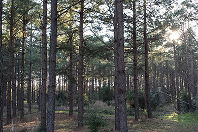 Newly purchased forestland near Sumter, SC. Photo by Jason Johnson.