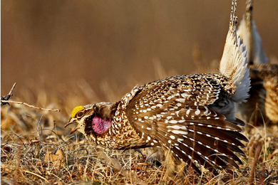 Sharp-tailed grouse. Photo by Larry Dau