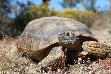 A Bright Future for the Desert Tortoise