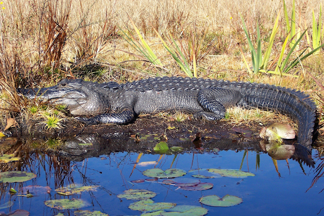 Alligator in Okefenokee National Wildlife Refuge wilderness, GA. Photo by Stacy Shelton, U.S. Fish and Wildlife Service.