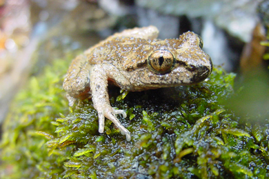 Restoring A Forest - And Home For The Coastal Tailed Frog