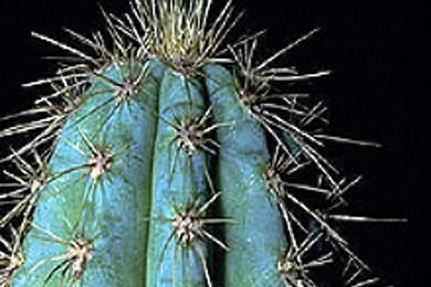 Key Tree cactus (Pilosocereus robinii). Photo courtesy USFWS/South Florida Ecological Services Field Office