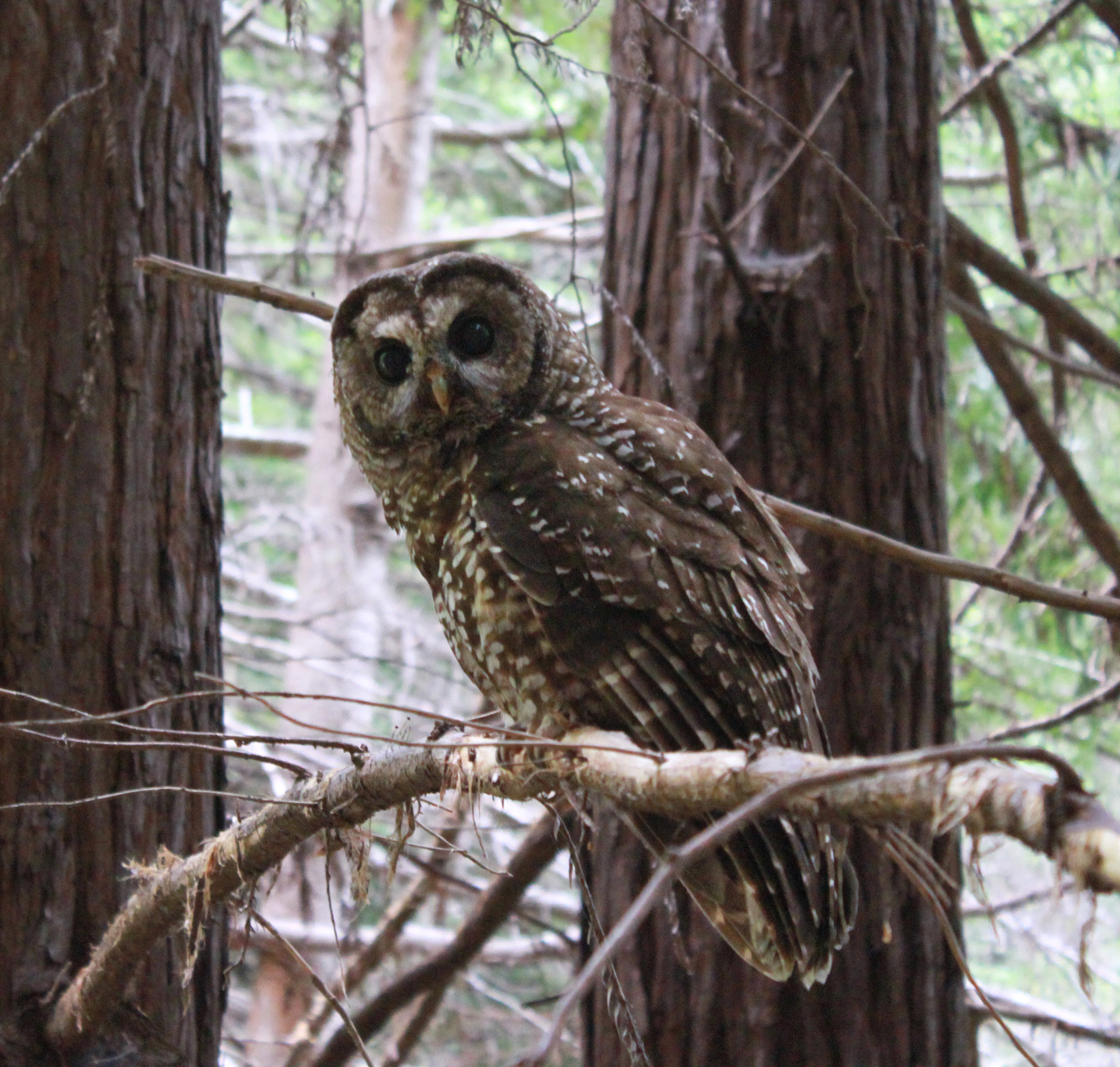 Northern spotted owl in Garcia River Forest.