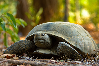 Protecting the Gopher Tortoise along Georgia's Coastline