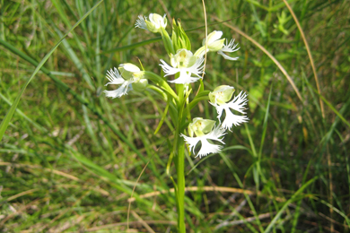 Eastern prairie fringed orchid, a federally-threatened species, in bloom. Photo courtesy U.S. Fish and Wildlife Service.