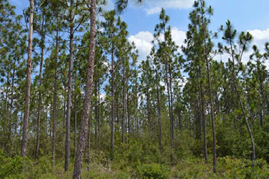 23-year old Longleaf Pine on the project site