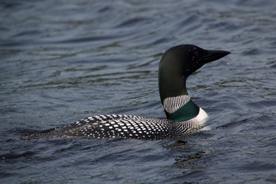 Loon floating on 4th Machias Lake. Photo by David Gallagher/Flickr