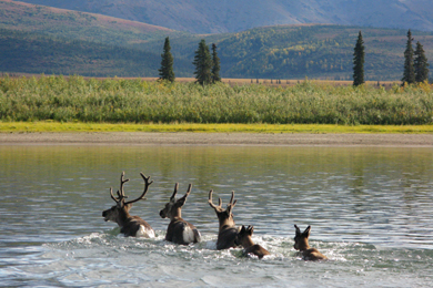 Caribou crossing Kobuk River. Photo by Wendi Lyn/Flickr