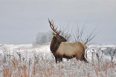 West Virginia Elk Habitat