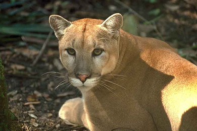 Habitat Protection For The Florida Panther