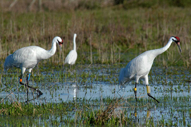 The endangered Whooping Crane has been spotted on Kanapaha Prairie. Photo by Larry Korhnak.