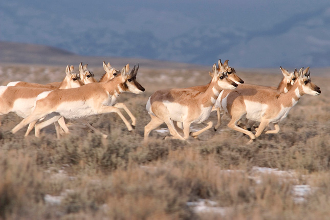 "The ""Path Of The Pronghorn"" In Wyoming"