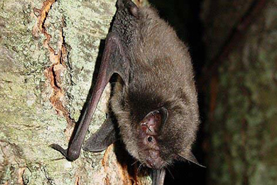 Indiana bat. Photo courtesy U.S. Fish and Wildlife Service
