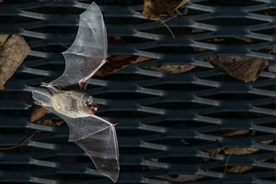 Range-wide Indiana Bat In-Lieu Fee Program