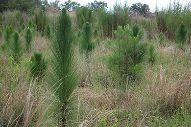 Mapping the Future of Longleaf Pine