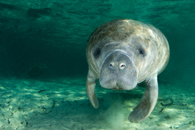 Endangered Florida manatee (Trichechus manatus) Photo by Amanda Cotton/iStockphoto