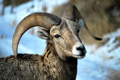 Big Horn Sheep. Photo by Patrick Herbert/Flickr