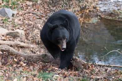 Bear wandering the woods of Vermont. Photo by Josh Rinehults/iStockphoto.com