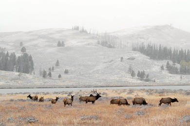 Elk at Yellowstone National Park. Photo by Dan & and Lin Dzurisin/Flickr